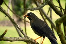 Controlling insects with birds-Bird eating insects