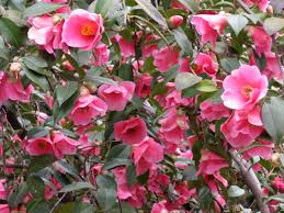 Beautiful pink flowers-slow-release-fertilizer