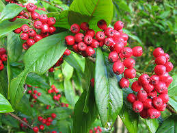 Firethorn-winter-plants-for-winter-gardening