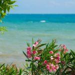 Oleander-garden-shrubs