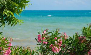 Oleander garden plants-perennials