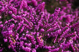 Heathers-winter-plants-for-winter-gardening
