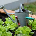 Lettuce-regrow-vegetables-from-kitchen-scraps