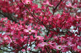Red twig dogwood-winter-plants-for-winter-gardening