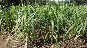 Sugar cane field-growing-sugar-cane