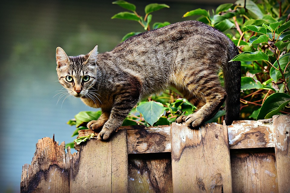 Cat standing on a fence-how-to-keep-cats-out-of-your-garden