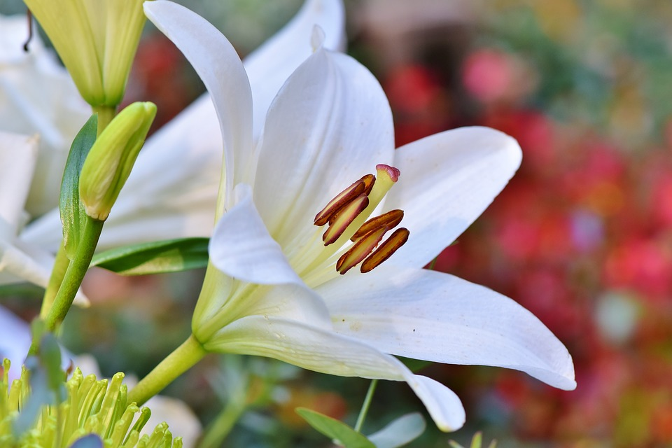 White Flowering Lily-garden-saftey