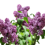 French lilac-garden-shrubs