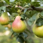 Pears handing from tree branch-health-benefits-of-pear