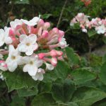 Korean spice viburnum-garden-shrubs