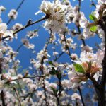 Nanking cherry-garden-shrubs