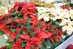 Red- light pink poinsettias-how-to-care-for-poinsettias