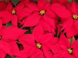 Beautiful red poinsettias-how-to-care-for-poinsettias