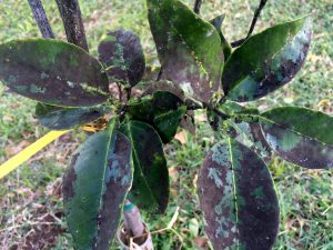 Sooty mold on plant leaves-controlling-sooty-mold