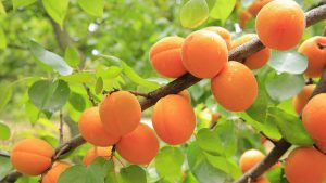 Apricots growing on tree-apricots-health-benefits