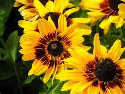 How To Make Money Growing Flowers-sunflowers