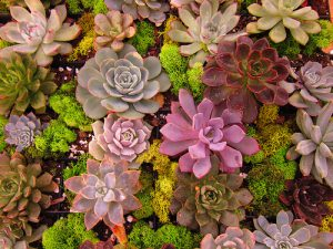 Succulents-how-to-water-succulent-plants