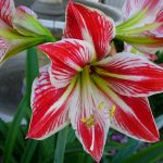 Amaryllis-plants-that-are-poisonous-for-cats