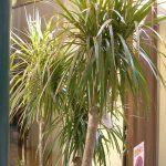 Dracaenas-plants-that-are-poisonous-for-dogs