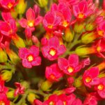 kalanchoes-plants-that-are-poisonous-for-dogs