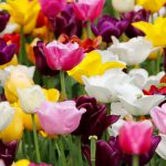 Tulips-plants-that-are-poisonous-for-dogs