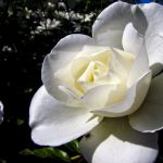 Gardenias-plants-that-are-poisonous-for-dogs