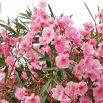 Oleanders-plants-that-are-poisonous-for-dogs