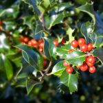 American holly-plants-that-are-poisonous-for-cats
