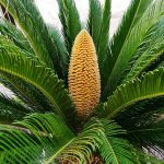 Sago palm-plants-that-are-poisonous-for-dogs