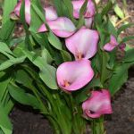 Calla lily-plants-that-are-poisonous-for-cats