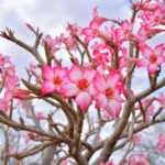 Desert rose-plants-that-are-poisonous-for-cats
