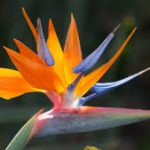 Bird of paradise flower-plants-that-are-poisonous-for-cats