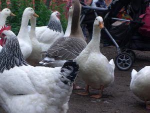 Ducks and chickens -garden-without-pesticides