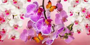 orchids with butterflies- Repotting orchid plants