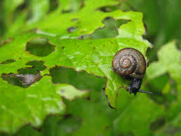 Snail feeding on garden plants-garden-snails-and-slugs