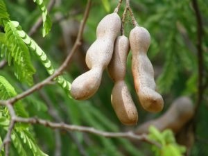 Tamarind tree-Health benefits of tamarind