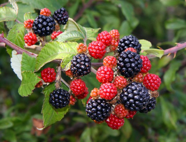 Blackberries-gardening-for-kids