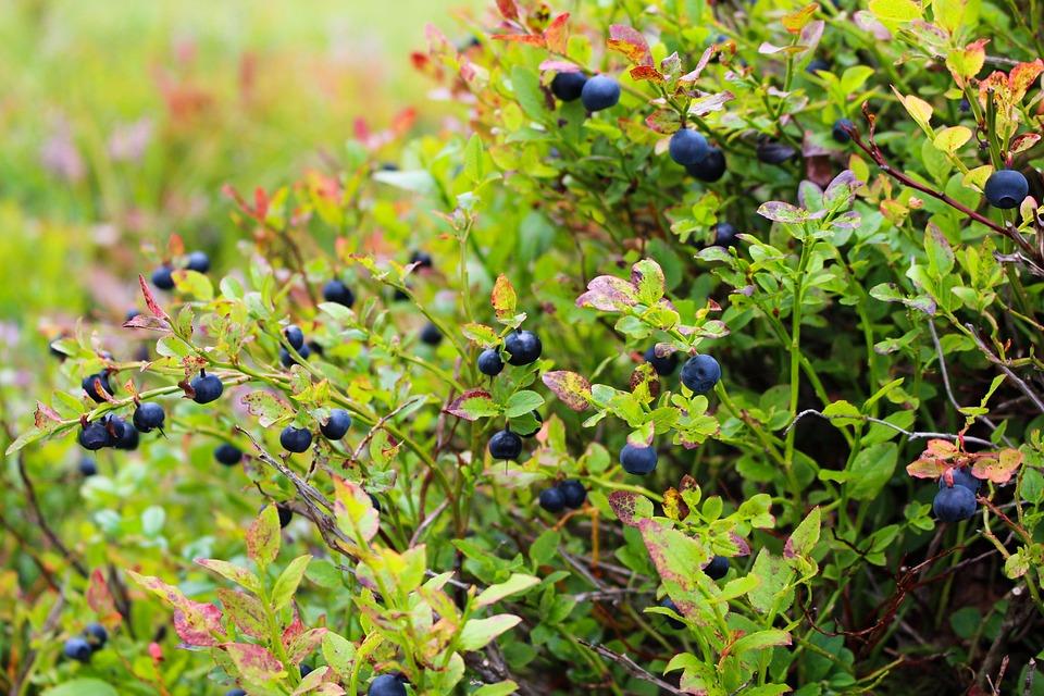 Blueberries-gardening-for-seniors