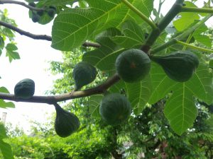 Figs growing on tree-how to grow figs