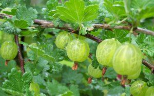 Gooseberry-how to grow gooseberries