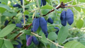 Growing- honeyberry-plant