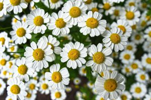 Chamomile herb plant-Natural- remedies- for- anxiety- and- stress