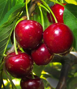 Cherries hanging from tree-Cherry Nutrition Facts