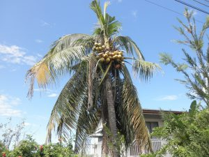 Coconut palm disease-How to plant a coconut tree