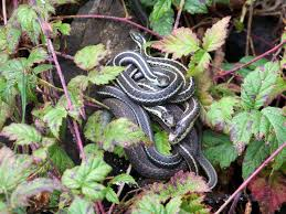 Snake-how to get rid of garden snakes