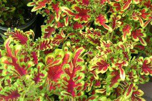 Coleus-Shade garde plants