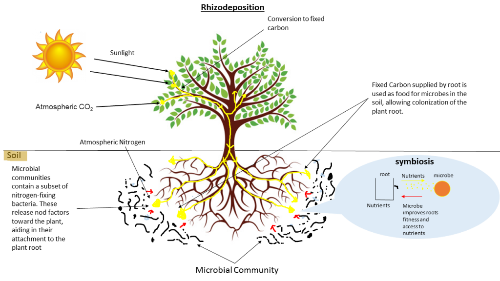 Plant roots-Root Growing Hormone