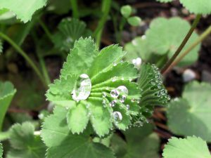 Lady's mantle- Shade garden plant