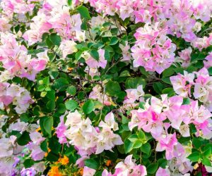 Bougainvillea flower-vine-in-the-landscape