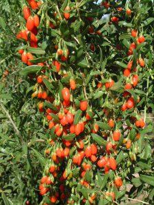 Goji berries-growing goji-berries